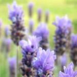 Lavendel_Comp